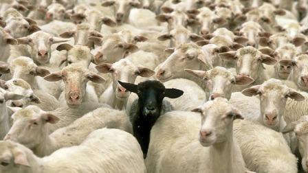čreda ovc